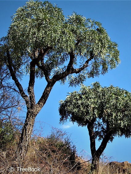 Cussonia paniculata sinuata | Highveld cabage tree | Bergkiepersol | beautiful leaves but very aggressive roots