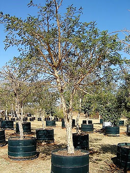 Groot Papierbasdoring te koop. Acacia sieberiana in 450L