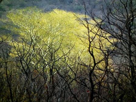 Volwasse Koorsboom, afgeneem in die Kruger Nasionale Park