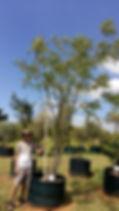 Large White seringa tree in 450L for sale | Kirkia acuminata