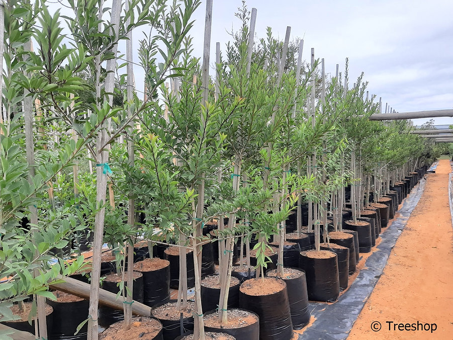 Cape holly tree for sale | Without | Ilex mites.jpg