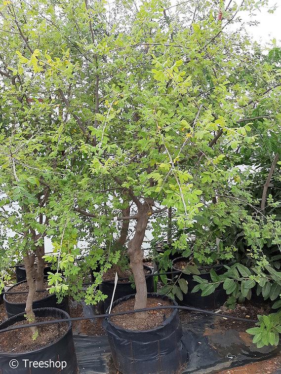 Velvet-leaved corkwood for sale | Fluweelkanniedood | Commiphora mollis.jpg