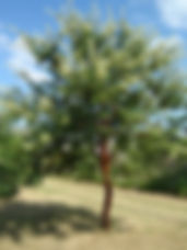 Acacia rehmanniana   Silky Thorn   flowering tree