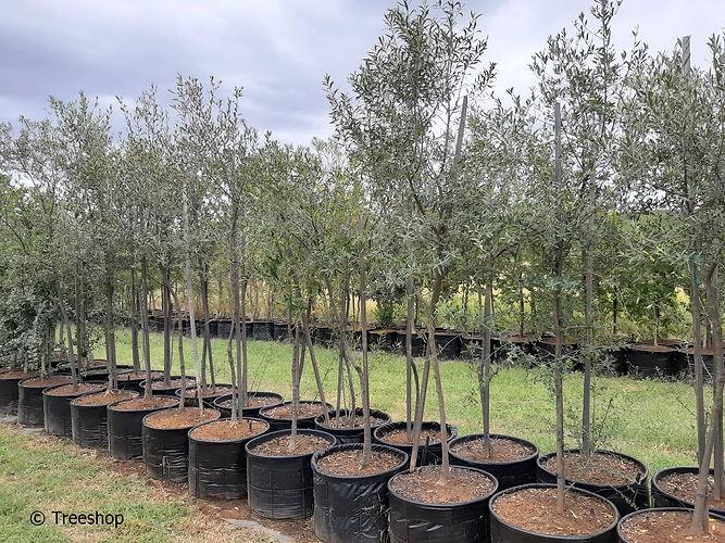 Wild olive for sale | Olienhout | Olea eropaea africana 100L.jpg