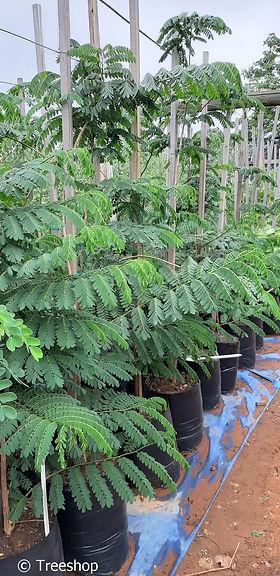 Albizia adianthifolia in 50L te koop