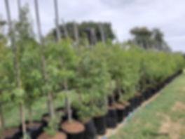 Lavender-tree for sale | Laventelboom | Heteropyxis natalensis.jpg