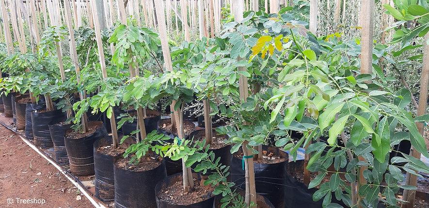 Pod-mahogany for sale in 50L | Afzelia quanzensis C.jpg
