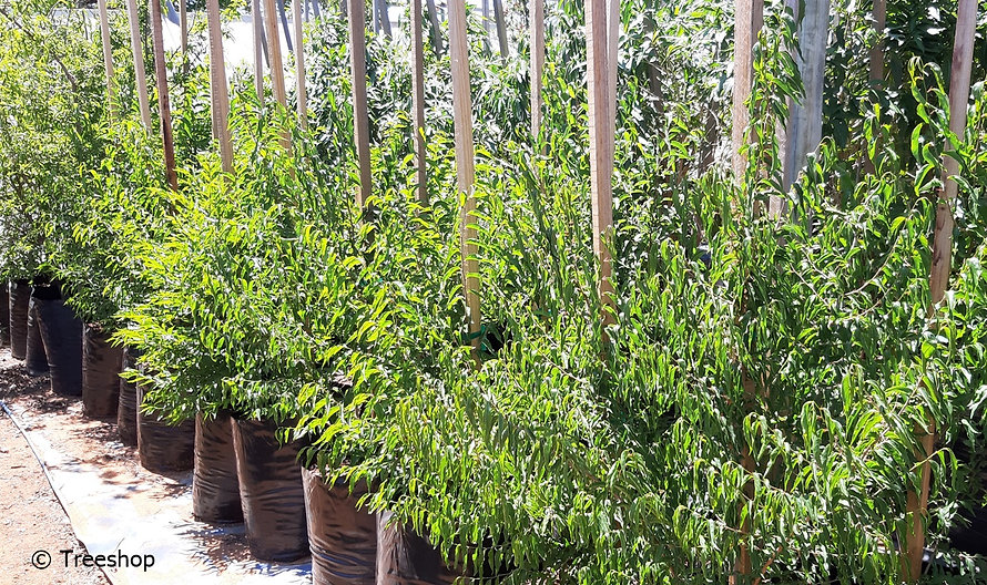 Snuff-box tree for sale in 50L | Oncoba spinosa