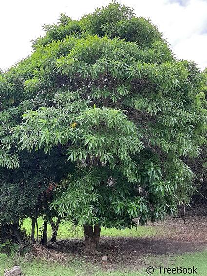 Rauvolfia caffra | Quinine tree | Kinnaboom | Frost sensitive garden tree