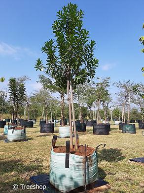 Peperbasboom te koop in 200L | Warburgia salutaris