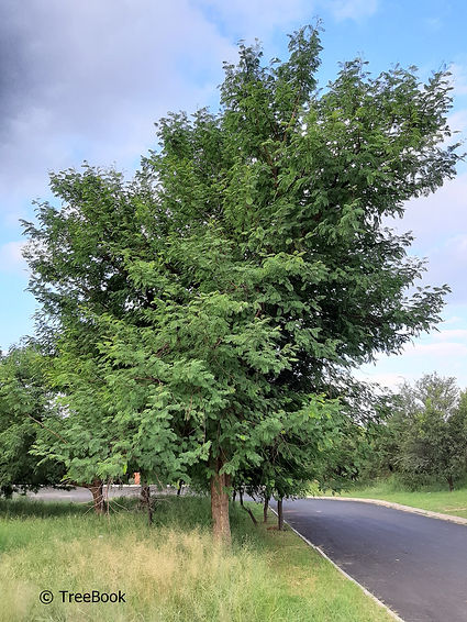 Senegalia galpinii | Monkey thorn | suitable for large gardens and parks