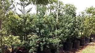 Breederivier-geelhout | Podocarpus elongatus in 100L