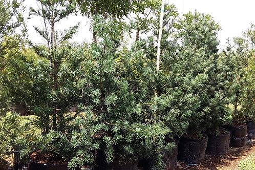 Podocarpus elongatus | Breederiviergeelhout | Breede River Yellowwood in 100L for sale