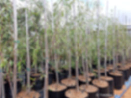 Cape willow for sale   Kaapse wilger   Salix mucronata.jpg