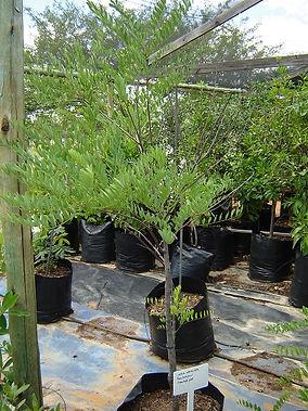 Sambokpeul in 50L te koop | Cassia abbreviata