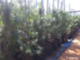 Henkel's drooping-leaved yellowwood for sale | Henkel-se-geelhout | Podocarpus henkelii.jpg