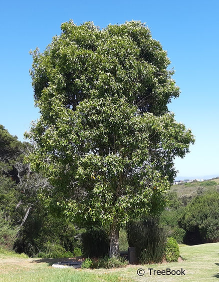 Nuxia floribunda | Forest elder | Evergreen, flowers profusely