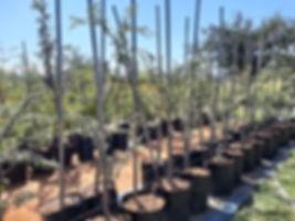 Camel thorn for sale | Kameeldoring boom | Vachellia erioloba.jpg
