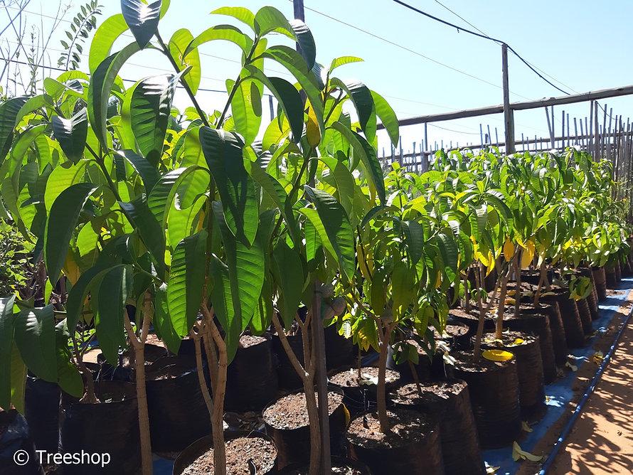 Toad-tree for sale | Laeveldse paddaboom | Tabernaemontana elegans.jpg