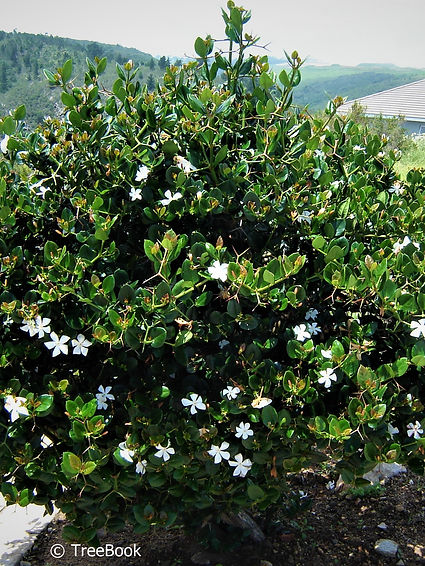 Carissa macrocarpa | Big num-num | Grootnoemnoem | White flowers and non-aggressive roots
