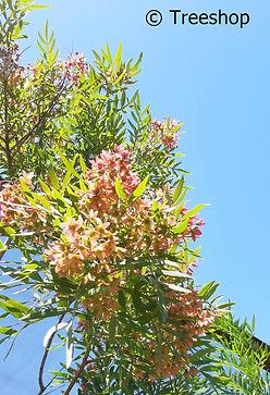 loxostylis alata (Teerhout) rooi vrugte
