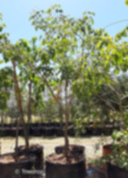 Round-leaved bloodwood for sale in 100L   Pterocarpus rotundifolius