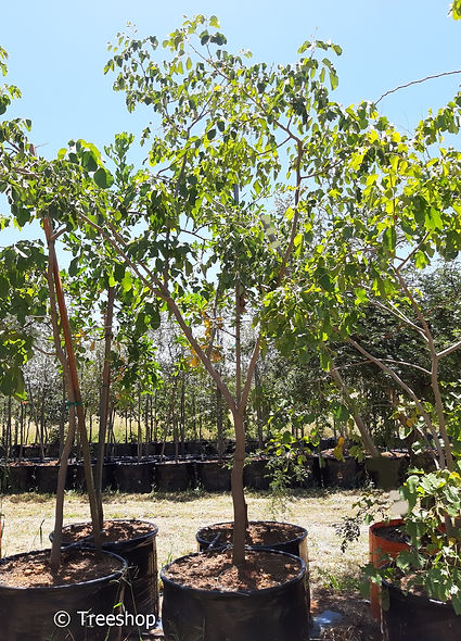 Round-leaved bloodwood for sale in 100L | Pterocarpus rotundifolius