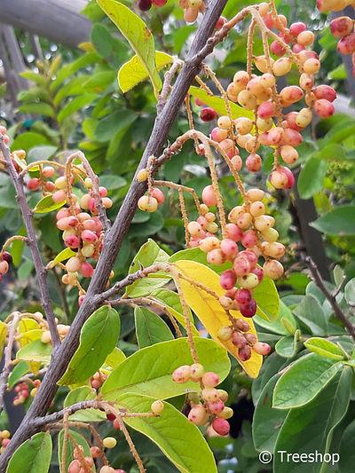Tassel-berry fruit | Voëlsitboom vrugte | Antidesma venosum fruit.jpg