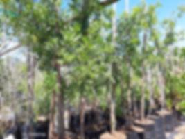 Small knobwood for sale in 50L | Zanthoxylum capense