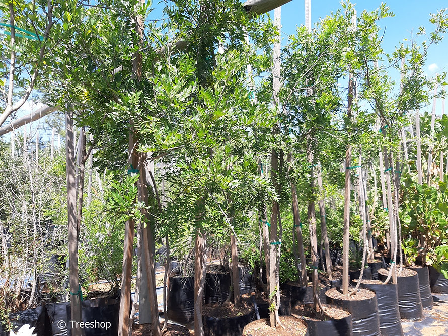 Small knobwood for sale in 50L | Zanthoxylum capense