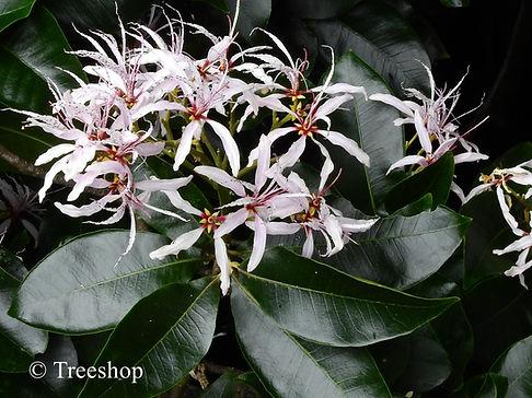 Calodendrum capense flowers C.JPG