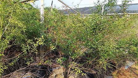 lemoentjiedoring te koop   Cassinopsis ilicifolia in 50L