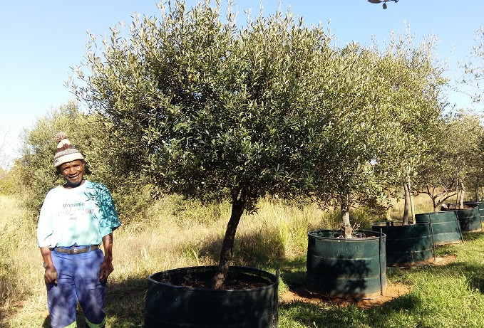Wild olive grown to resemble natural growth form