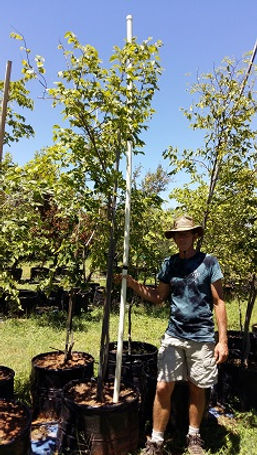Witstinkhout | Celtis africana in 100L