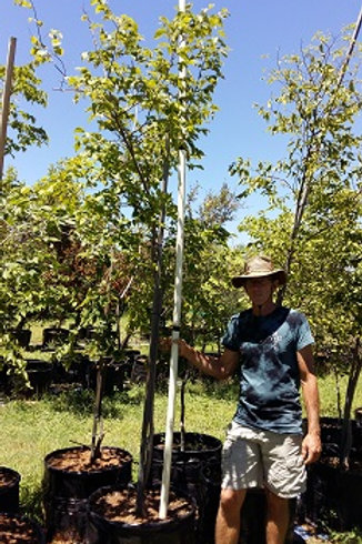 Celtis africana | Witstinkhout | White Stinkwood in 100L for sale