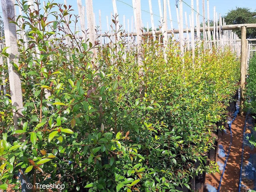 Boswaterbessie te koopin 50L | Syzygium gerrardii