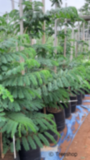 Flat-crown albizia for sale | Platkroon boom | Albizia adianthifolia.jpg
