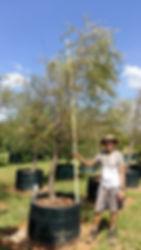 Cape willow tree for sale | Salix mucronata in 450L