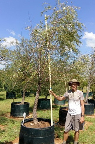 Salix mucronata | Cape Willow | Kaapse Wilger in 450L for sale