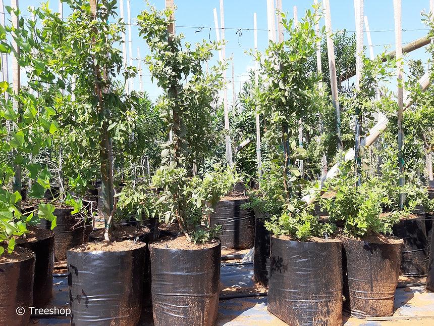 Gewone taaibos te koop in 50L | Searsia pyroides
