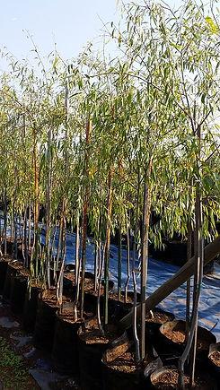 Kaapse wilger in 50L te koop | Salix mucronata