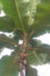 Voorbeeld van 'n skaars boom vir aanplant in n binnehof tuin