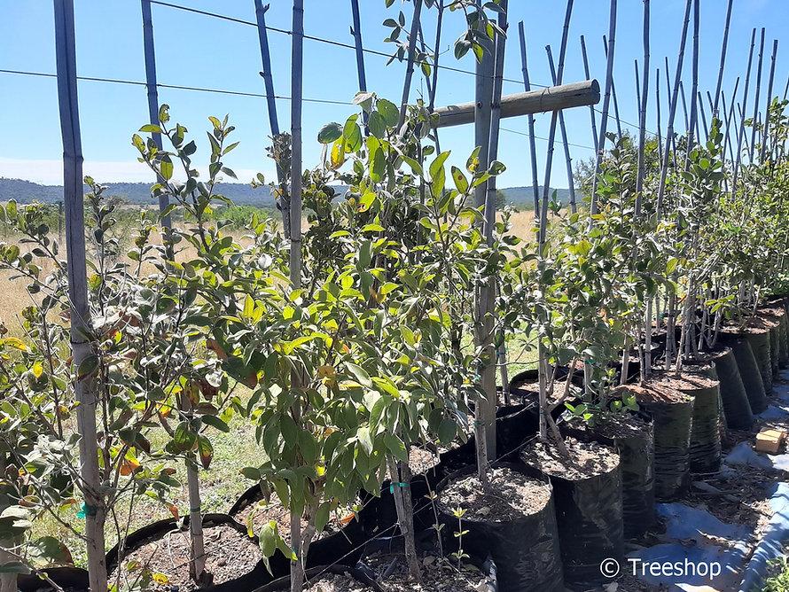 Velvet bushwillow for sale | Fluweelboswilg | Combretum molle.jpg