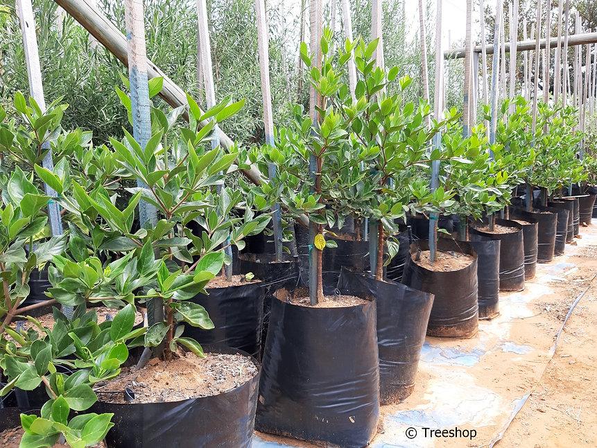 Kaapse katjiepiering te koop in 50L | Rothmannia capensis