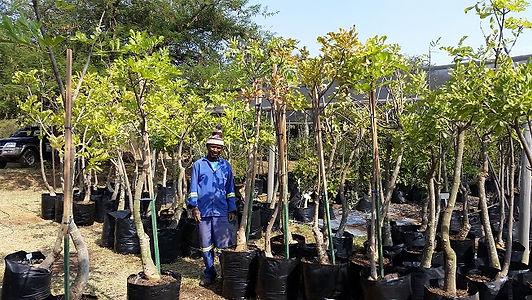 Worsboom in 50L te koop | Olinia emarginata