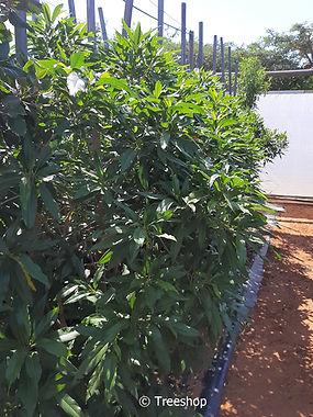 Forest elder for sale in 50L | Bosvlier | Nuxia floribunda