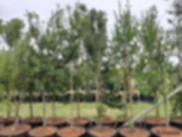 Buy White-pear | Apodytes dimidiata 100L C.jpg