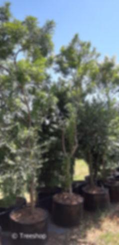 Buy large Tarwood trees | Teerhout | Loxostylis Atlanta 100L.jpg