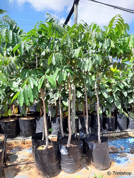 Red mahogany for sale | Oos afrikaanse mahonie | Khaya anthotheca