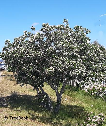Dais cotinifolia | Pompon tree | Flowers in profusion